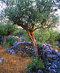 Olive tree and dry stone wall, Greece