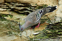 One of the most beautiful of the Australian imports is the Australian Crested Dove (Ocyphaps lophotes). In Australia, it is referred to as the crested pigeon, while the indigenous people Down Under called this bird the topknot pigeon.
