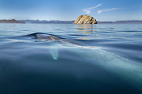 Blue whale (balaenoptera musculus) A surfacing blue whale showing the pectoral fin. Gulf of California., Baja California, Mexico, Pacific Ocean