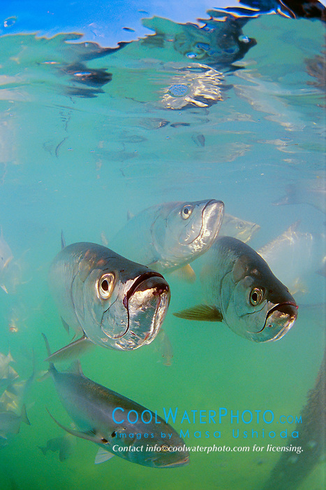 Tarpons, Megalops atlanticus, and Crevalle Jack, Caranx hippos, Islamorada, Florida Keys National Marine Sanctuary, Atlantic Ocean.