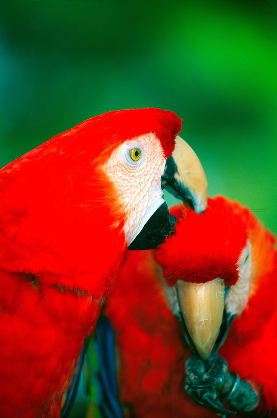 Macaws (parrots), Antigua Guatemala, Guatemala
