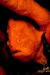 Painted Frogfish (Antennarius pictus)