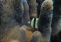 Banded Butterflyfish in a pillar coral at Jardines de la Reina, Cuba