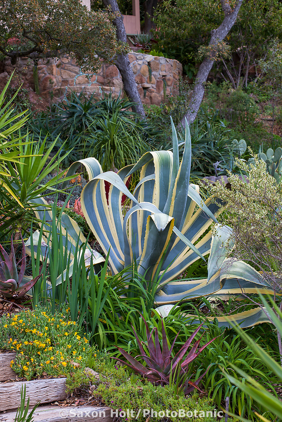 Agave americana 'Marginata'   Variegated Century Plant by wooden steps with other succulents: Aloe rubroviolacea, Delospermum congestum 'Gold Nugget' groundcover; in Debra Lee Baldwin Southern California hillside backyard garden