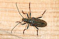 Schulterbock, Schulterbockkäfer, Schulterbock-Käfer, Oxymirus cursor, Toxotus cursor, Longicorn beetle