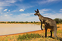 Australia,  NSW, Sturt National Park; eastern grey kangaroo male at waterhole (Macropus giganteus); the kangaroo population increased dramatically after the recent rains in the previous 3 years following 8 years of drought