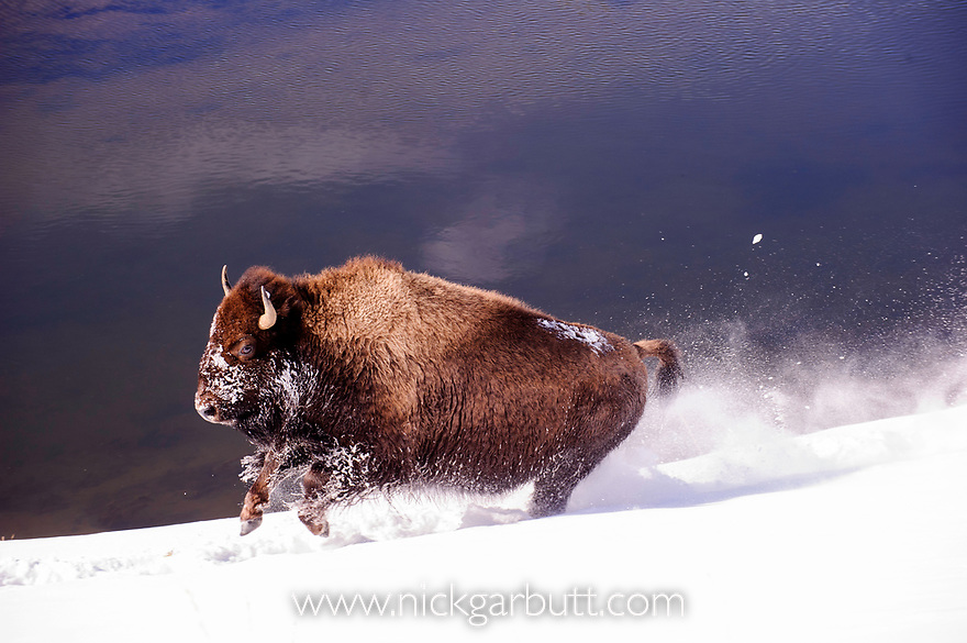 Young American Bison (Bison bison) running through deep snow. Madison Valley, Yellowstone National Park, Wyoming, USA. January