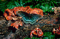 Red spotted purple butterfly, Basilarchia arthemis astanax, on moist lichen log, Missouri