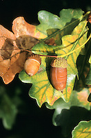 Stiel-Eiche, Stieleiche, Eiche, Eicheln, Frucht, Früchte, Quercus robur, hellgrünes Laub im Frühjahr, English Oak, Chêne commun