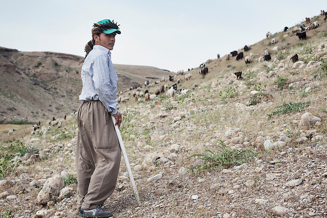 28/04/15. Awbar Village, Darbandikhan area, Iraq. -- Faisal and the herd on the mountains around Awbar in the morning.
