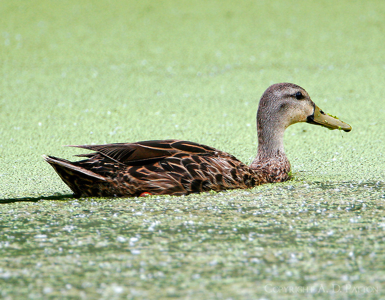 Adult female mottled duck swimming at Paradise Pond