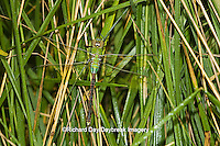 06361-00707 Common Green Darner (Anax junius) dragonfly female Marion Co.  IL
