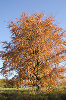 A beautiful golden brown tree on a lovely sunny autumn day, near Chesham, Buckinghamshire, England.