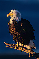 Eagle: Bald Eagle (Haliaeetus leucocephalus) perched on beach.
