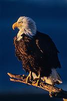 Eagle: Bald Eagle (Haliaeetus leucocephalus) perched on beach.