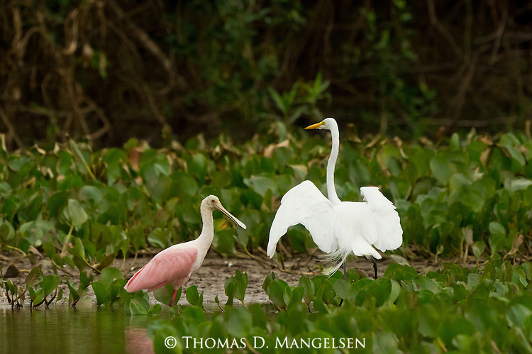 A great egret and roseate spoonbill in a marshy area in the Pantanal, Mato Grosso, Brazil.