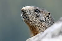 Head of a marmot hidden behind a stone in front of a blurry background