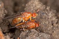 Baumfliege, Paarung, Kopulation, Kopula, Neuroctena anilis, Dryomyza anilis, dryomyzid fly, Baumfliegen, Dryomyzidae, dryomyzid flies