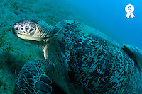 Green turtle (Chelonia midas) eating on sea bed, with Remora fishes on back (Echeneis naucrates), Red Sea, Egypt (Licence this image exclusively with Getty: http://www.gettyimages.com/detail/82406620 )