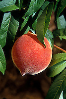 Close-up of PEACH on the tree - CALIFORNIA