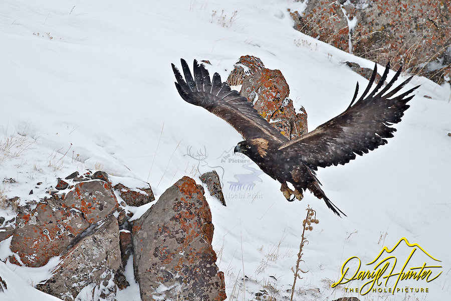 Golden Eagle, winter, snowing, National Elk Refuge, Jackson Hole, Wyoming