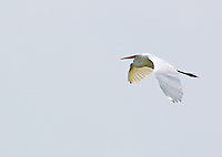 Great egret in flight, Bald Knob National Wildlife Refuge, Arkansas