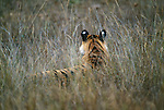 The prominent white bars that adorn the backs of the ears of about half of the cat species, including tigers, may help youngsters follow their mothers along dark forest trails.  Ranthambore National Park, India.