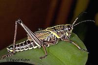 0722-07mm  Eastern Lubber Grasshopper - Romalea guttata  © David Kuhn/Dwight Kuhn Photography
