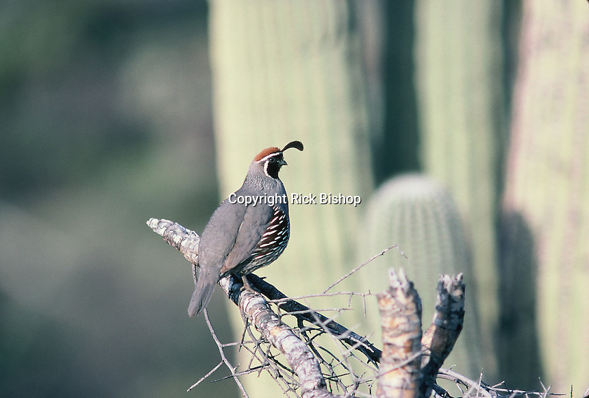 Gambel's Quail seen in southern Arizona on a spring day