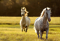Two Mares tort toward us backlit by late afternoon sunlight...