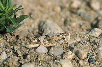 Blauflügelige Sandschrecke, Blauflüglige Sandschrecke, Männchen, Sphingonotus caerulans, Slender blue winged grasshopper, Slender Blue-winged Grasshopper, male