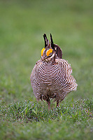 572110268 a wild lesser prairie chicken tympanuchus pallidicintus displays and struts on a lek on a remote ranch near canadian in the texas panhandle