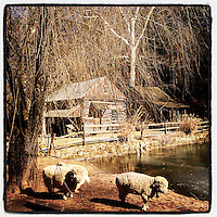 Sheep meander the grounds at the historic Cuttalossa Farm in Solebury Township on February 18, 2013.
