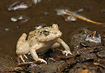 Female rice paddy frog, Fejervarya sp., from the Baucau district of Timor-Leste (East Timor)