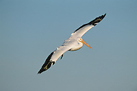 American White Pelican, Pelecanus erythrorhynchos, adult in flight, Rockport, Texas, USA