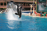 Captive orca show at Sea World, San Diego