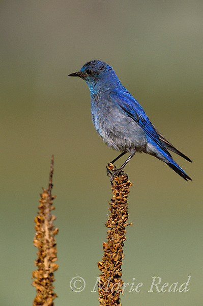 Mountain Bluebird (Sialia currucoides) male, California, USA<br /> Slide # B136-425