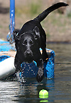 Fin, a 2-year-old lab, jumps off a dock at Topaz Lake, Thursday, July 8, 2011..Photo by Cathleen Allison