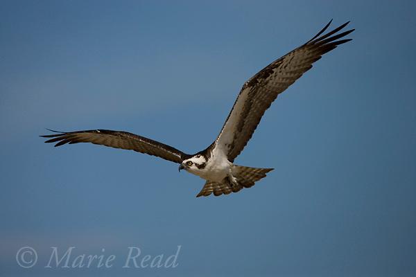 Osprey (Pandion haliaetus) in flight, Sanibel Island, Florida, USA