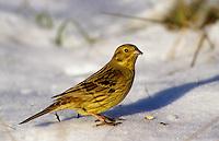 Goldammer, im Winter bei Schnee, Gold-Ammer, Ammer, Emberiza citrinella, yellowhammer