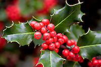 Holly berries and leaves. Paradise, California