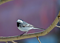 Common Wagtail