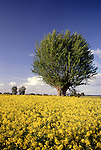 Europe, DEU, Germany, North Rhine Westphalia, Rhineland, Lower Rhine, Xanten, Rapeseed field, Tree, Brassica napus var. napus....[ For each utilisation of my images my General Terms and Conditions are mandatory. Usage only against use message and proof. Download of my General Terms and Conditions under http://www.image-box.com or ask for sending. A clearance before usage is necessary...Material is subject to royalties. Each utilisation of my images is subject to a fee in accordance to the present valid MFM-List...Contact | archive@image-box.com | www.image-box.com ]