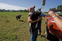 John Stuedemann's helper weighs a newborn calf in Comer, Ga. on Monday, Sept. 25, 2006. Stuedemann says he applies techniques with his cattle that he has learned since childhood in Iowa, such as positive reinforcement, minimal occurrences of pain or fear, and calm motions and speech.