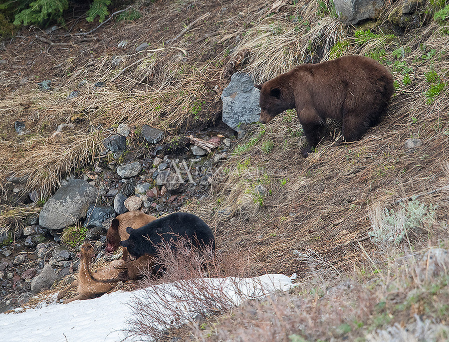 This was my first time witnessing a large animal kill in Yellowstone. Bears will flush elk calves from their hiding spots and take them down during the spring calving season. This was interesting to witness, however, as the mother was hanging back and letting her cubs (which were consuming the calf alive) learn how to handle prey. A teaching moment.