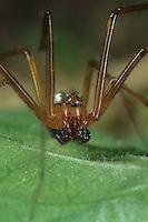 Deckennetzspinne, Deckennetz-Spinne, Männchen, Floronia bucculenta, Floronia spider, sheet-web weaver, Baldachinspinnen, Linyphiidae