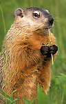 Groundhog or Woodchuck, Marmota monax, Minnesota, captive, eating flower in meadow, .USA....