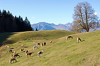 Italien, Suedtirol, Hafling: Wandergebiet oberhalb Merans, Namensgeber fuer die Haflinger Pferderasse   Italy, South Tyrol, Alto Adige, Avelengo: hinking area above Merano, eponym for Hafling horse breed