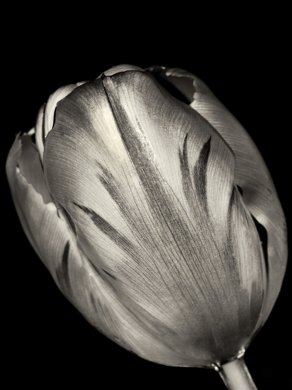 Tulip as seen from underwater.