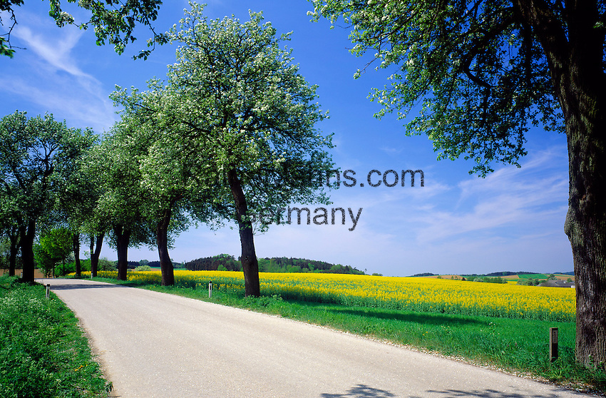 Austria, Lower Austria, Wachau, rural road, empty, yellow Canola field, trees